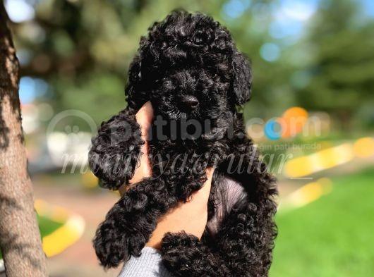 Irk Ve Sağlık Garantili A Kalite Black Poodle Yavrularımız
