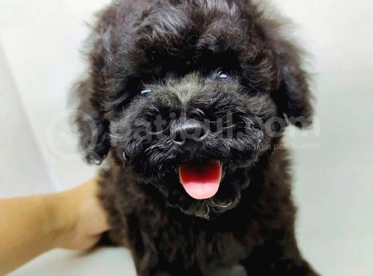 Orjianal A Kalite Black Poodle Yavrularımız