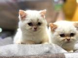 Irkının En İyisi British Shorthair Yavruları