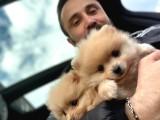 Maşallah Demeden Bakmayın Mükemmel Pomeranian Boo