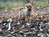Her Göreni Heyecanlandıran Chihuahua