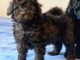 Silver Black Toy Poodle Yavrularımız