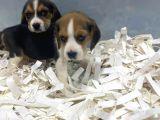 Orj. Babyface Eli̇zabeth Beagle Bebeklerimiz