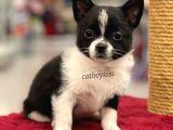Siyah Beyaz Longhair Chihuahua Yavrumuz