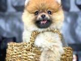 Yavrupatiler Den Mini Pomeranian Boo  Oğlumuz Tarçın / Yarışma Düzeyi