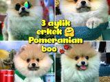 Yavrupatiler Den Safkan Pomeranian Boo Oğlumuz Arti̇st