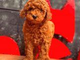 Red Toy Poodle Bebekler