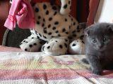 Scottish Fold Yeterince Anne Sütü Almış Kedimi Sahiplendiriyorum
