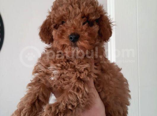 Irkının Temsilcisi Toy Poodle