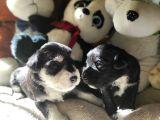Minyatür Schnauzer Yavruları (Bursa Köpek Okulu)
