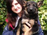 Secereli Alman Kurdu Yavru Bursa Köpek Okulu