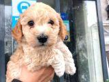 Erkek Toy Poodle Yavrumuz :)