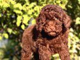 Çi̇kolata Toy Poodle Yavrumuz