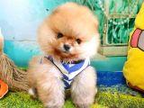Pomeranian Boo Pasaportlu Karneli Yavrularımız
