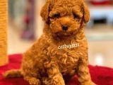 Muhteşem Red Toy Poodle Yavrumuz