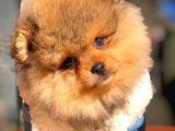 En İyi Kalıte Tcup Pomeranian Yavrularımız
