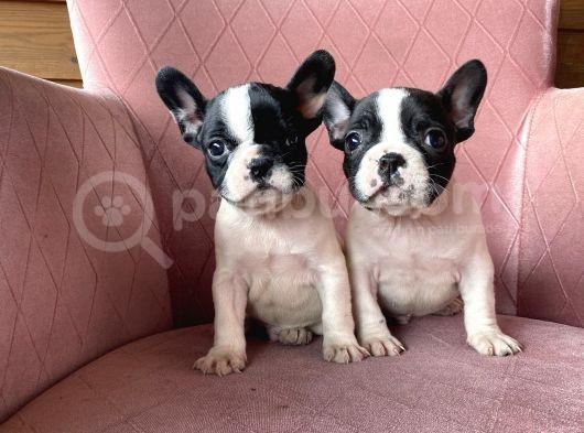 Ev Üreti̇mi̇ Kisa Bacak Frenchbulldog Yavrularimiz