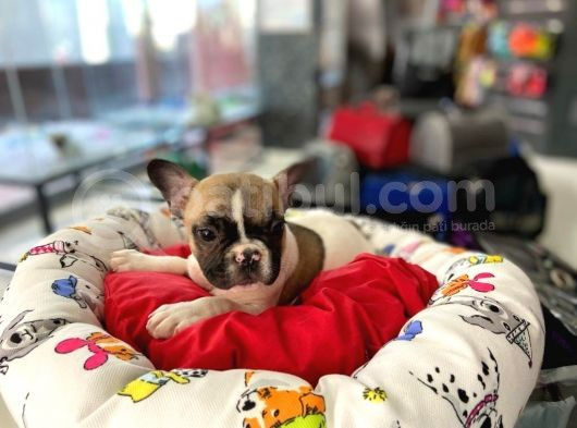 Özel Renk Fawn Pied Erkek French Bulldog