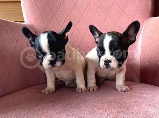 Mükemmel Kompakt Ev Üreti̇mi̇ French Bulldog