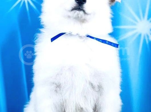 Beyaz İsviçre çoban köpeği