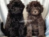 Silver & Black Toy Poodle Yavrularımız