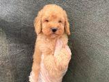 Satilik Süper Kali̇te Toy Poodle Yavrulari