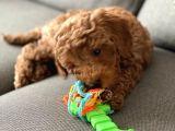 Toy Poodle 3 Aylık
