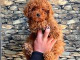 Red Brown Koyu Kızıl Erkek Toy Poodle Yavrumuz
