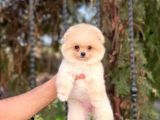 Orjinal Pomeranian