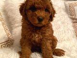Maşallah Demeden Bakmayın Toy Poodle