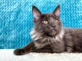 XL Mainecoon BlueSmoke Dişi