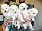 Safkan Beyaz Samoyed Bebekler Irk Garanti̇li̇
