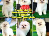 A Sinifi Ayı Surat Teddyface Pomeranian Boo Oğlumuz