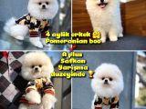 Pomeranian Boo Kızımız a Plus Safkan Yarışma Duzeyi