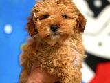 2.5 Aylik Erkek Red Toy Poodle