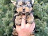 Sevilmli Yorkshire Terrier Mini Yavrularımız