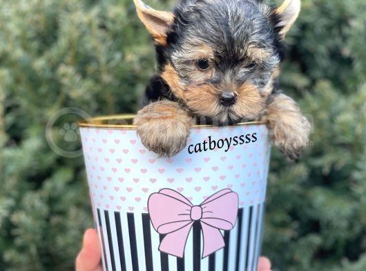 Yorkshire Terrier Mini Erkek Yavrumuz