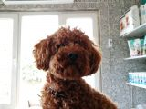 Toy Poodle Yavru ( Bursa Köpek Okulu)