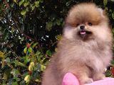 Pomeranian Boo Erkek Yavru