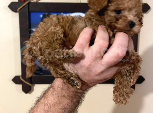 Minik Mikro Prens Poodle