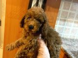 Orjınal Red Toy Poodle
