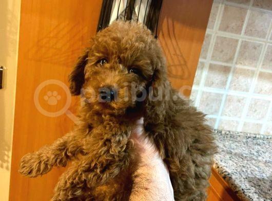 Orjınal Red Toy Poodle