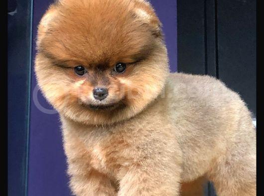 Pomeranianlarımız Gelmiştir