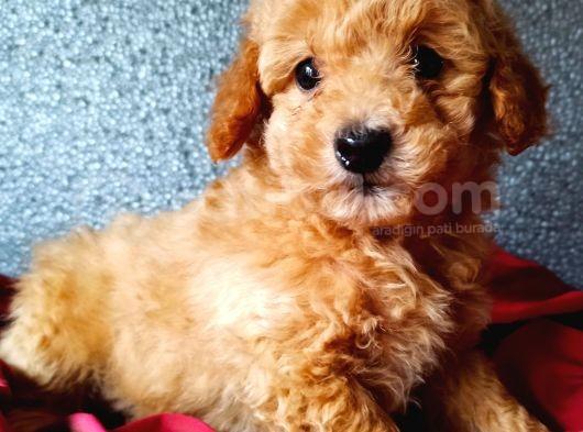 Toy Poodle Yavrumuz