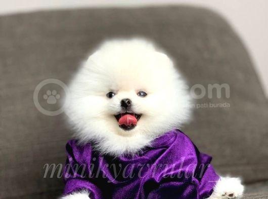 Safkan Irkının En İyisi Pomeranian Oğlumuz