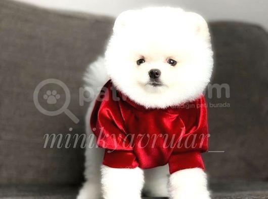 Teddy Face Surat Yapisinda Orjinal Pomeranian Yavrumuz