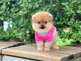 Güzel Pomeranian Boo Kızımız