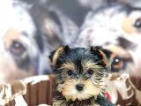 Biblo Yorkshire Terrier Yavrular