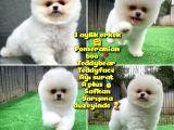 Safkan Pomeranian Boo Teddybear Teddyface Ayı Surat a Plus Yarışma Düzeyi