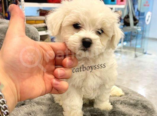 Sevimli Mini Maltese Terrier Yavrumuz
